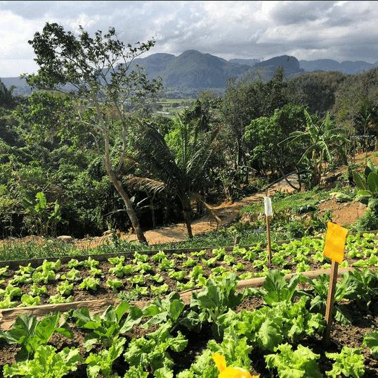Uprawa ekologiczna na Kubie