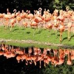 flamingi Kuba